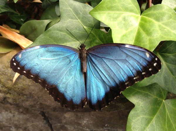 A Blue Morpho butterfly.